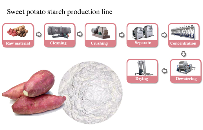 sweet potato starch plant