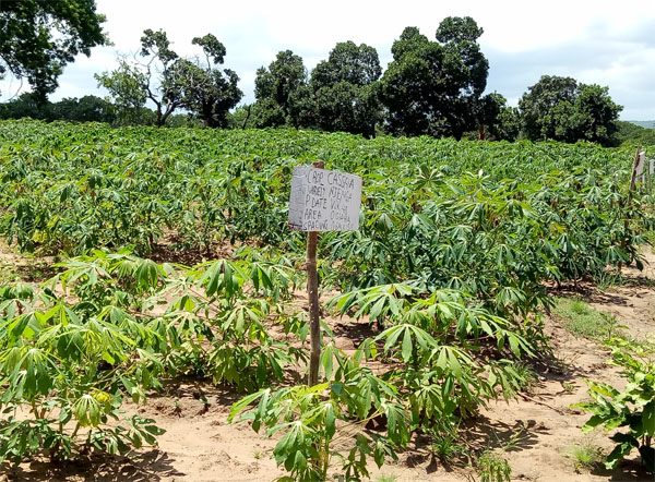 cassava planted in Africa