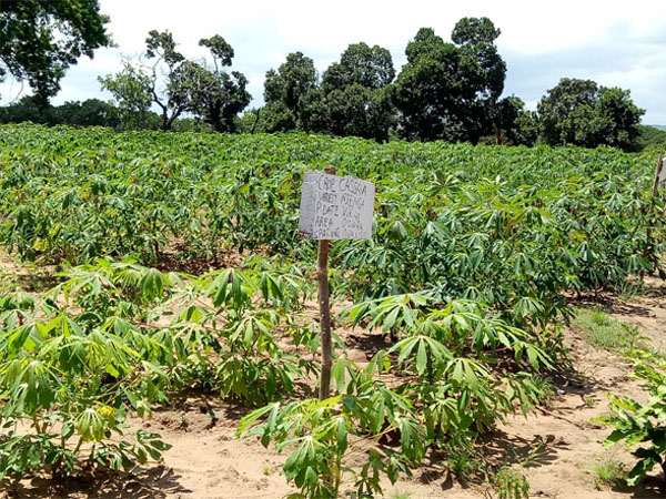 Market overview for cassava and cassava production in Africa