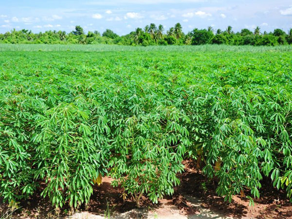 The cassava starch market is promising and its size is continuously developing rapidly